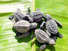 baby turtles just before release